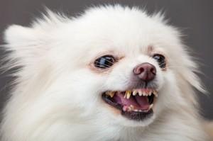 Pflege von Augen, Zähne und Ohren beim Spitz