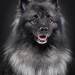 Wolfspitz