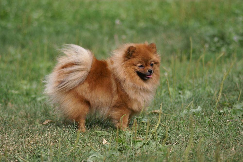 Spitz Züchter: gesunde Hunde