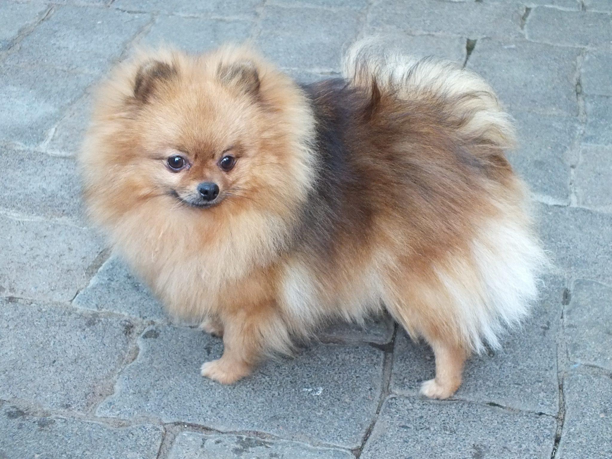 Spitz Dog For Sale London