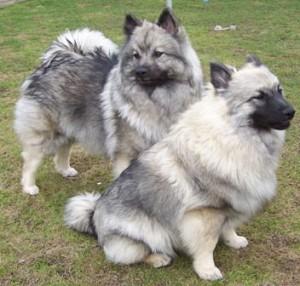 wolfsspitz keeshond