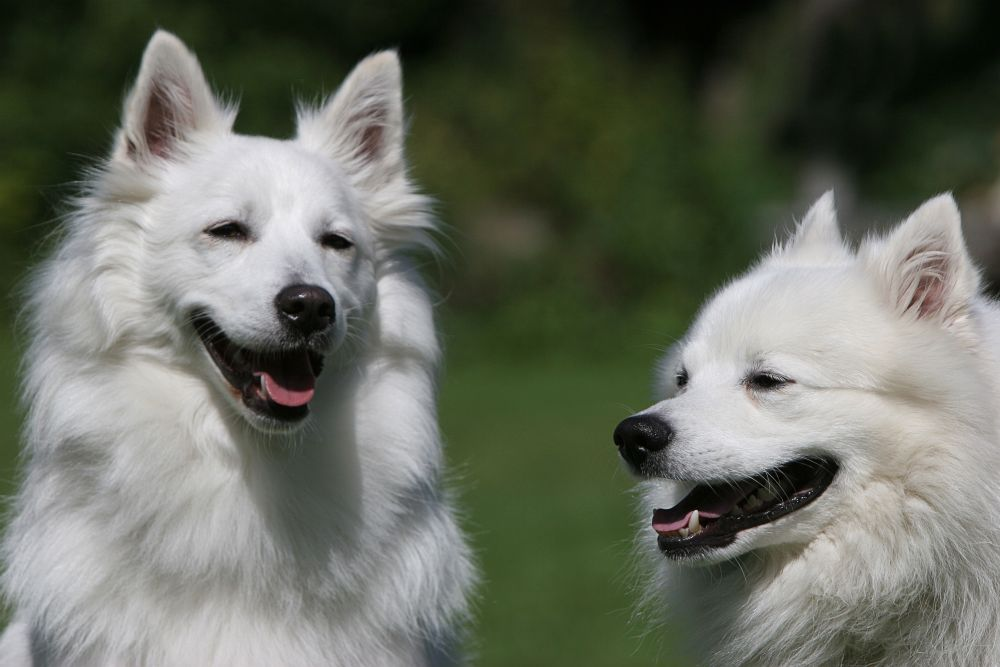 Großspitz Hunderassen