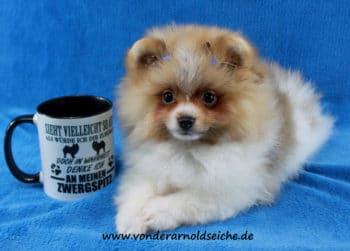 Pomeraniandeckrüden Kirsu gescheckt