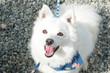 白 い 犬 の 日本 ス ピ ッ ツ