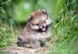Piccolo cucciolo di Pomerania