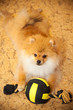 Dog spitz puppy lying on the floor with a toy